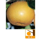 【ラッキーシール対応】果樹の苗/ナシ(梨):チョウジュウロウ(長十郎)4号ポット