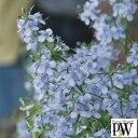 草花の苗/スコパリア:ブルーメロン3号ポット2株セット