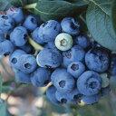 果樹の苗/ブルーベリー:おおつぶ星4.5号ポット