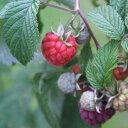【ラッキーシール対応】果樹の苗/トゲなしラズベリー:グレンアンプル3〜5号ポット
