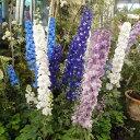 草花の苗/デルフィニウム:マジックフォンテン花色ミックス3号ポット28株セット
