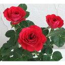 バラの苗/ポットローズ:ミニバラ・スカーレットオベーション4号プラ鉢植え