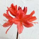 花木 庭木の苗/ツツジ:レンゲツツジ橙花(カバレンゲ・樺レンゲ)3.5号ポット