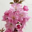 花木 庭木の苗/ハナカイドウ(海棠・マルス)7号ポット[02P07Feb16]