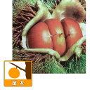 果樹の苗/栗(クリ):美玖里(みくり)4〜5号ポット