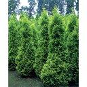 花木 庭木の苗/ニオイヒバ:ヨーロッパゴールド8号ルートバック樹高1m