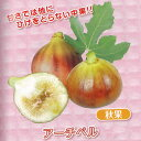 果樹の苗/甘~いミニイチジク:アーチペル3号ポット