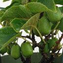 果樹の苗/サルナシ(コクワ)大実サルナシ3.5〜4号ポット