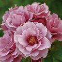 つるバラ ロサ・ペルシカ交配種 美しいラベンダー色のバラ