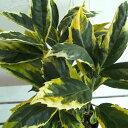 花木 庭木の苗/アオキ:サルフレア5号ポット