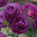 ミステリアスな雰囲気の青紫色シュラブ