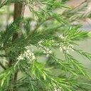 花木 庭木の苗/メラレウカ:レボリューショングリーン5号ポット[02P03Dec16]