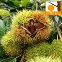 果樹の苗/栗(クリ)2種受粉樹セット:ぽろたんと利平4~5号ポット