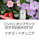 植物の苗/コンパニオンプランツ栽培セット:イチゴ:四季なりいちご桃娘とランドスケープペチュニア:さくらさくら