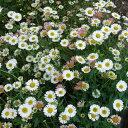 バラの苗/バラに合う宿根草の苗:エリゲロン カルビンスキアヌス3〜3.5号ポット1株