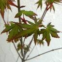 花木 庭木の苗/モミジ(カエデ):イロハモミジ8号ポット 2株セット