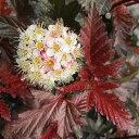 花木 庭木の苗/テマリシモツケ:レディインレッド8〜9号ポット樹高1〜1.2m