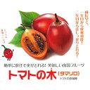 果樹の苗/タマリロ(トマトの木)3.5号ポット