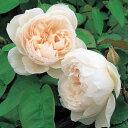 バラの苗/イングリッシュローズ:ザ・ジェネラス・ガーデナー大苗5号角鉢植え