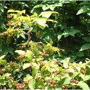 花木 庭木の苗/ナツハゼ株立ち根巻き樹高1〜1.2m[02P03Dec16]