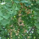 果樹の苗/ギンナン(銀杏・イチョウ):藤九郎(トウクロウ)4〜5号ポット