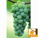 果樹の苗/ブドウ:ナイアガラ挿木苗4〜5号ポット