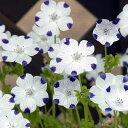 草花の苗/ネモフィラ:マクラタ3.5号ポット2株セット