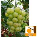 果樹の苗/ブドウ:セトジャイアンツ(瀬戸ジャイアンツ)接木苗4〜5号ポット