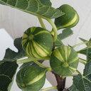 果樹の苗/イチジク:ゼブラスィート4〜5号ポット