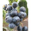 【ラッキーシール対応】果樹の苗/ブルーベリー:ブライトウェル5号ポット