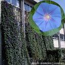 草花の苗/アサガオ(イポメア):宿根朝顔ケープタウンブルー3.5号ポット3株セット