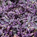 草花の苗/観賞用とうがらし:パープルフラッシュ2.5号ポット2株セット