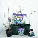 果樹の苗/ブルーベリー栽培セット:フクベリーとティフブルー4〜5号ポット