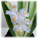 草花の苗/シャガ:斑入りシャガ3号ポット 12株セット
