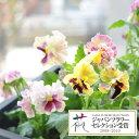草花の苗/パンジー:ムーランフリルシフォンミックス3.5号ポット3株セット
