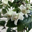 クレマチスの苗/クレマチス:ユンナンエンシス4.5号(常緑系・冬咲)