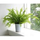 観葉植物/タマシダ(ネフロレピス・ツデー)4号鉢植え