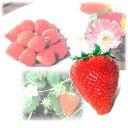 野菜の苗/イチゴ:アイベリー3号ポット3株セット