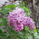花木 庭木の苗/ライラック:エスタースターレー樹高130cm根巻き