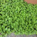 [タネ]ダイカンドラ (ダイコンドラ):緑葉1kg