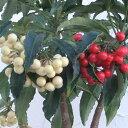 花木 庭木の苗/[実付き]万両(マンリョウ):夫婦長寿万両6号鉢植え