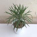 観葉植物/セネシオ クレイニア(モンキーツリー)4号鉢植え