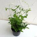 観葉植物/アスパラガス:スマイラックス3号ポット苗