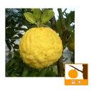 【ラッキーシール対応】果樹の苗/シシユズ(獅子柚子)4〜5号ポット