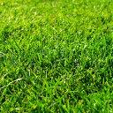 西洋芝の種:クリーピングレッドフェスク 1kg