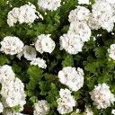 草花の苗/アイビーゼラニウム:pacホワイトパール3.5号ポット