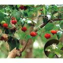 【ラッキーシール対応】果樹の苗/ピタンガ(スリナムチェリー)5号ポット