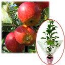 花木 庭木の苗/苗木ギフト:リンゴ:アルプス乙女「ありがとうございました」カード付