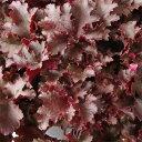 草花の苗/ヒューケラ:フリンジチョコ2.5号ポット