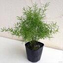 観葉植物/アスパラガス:スプレンゲリー3号ポット苗